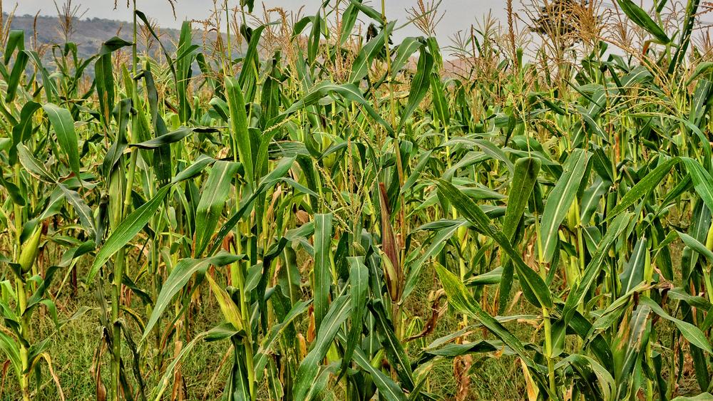Farming in Nigeria: maize farming field.