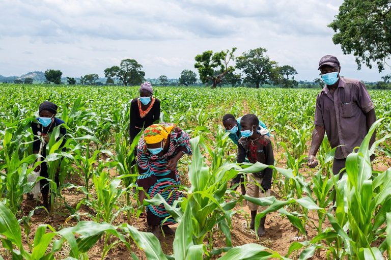 maize farming in nigeria-facts