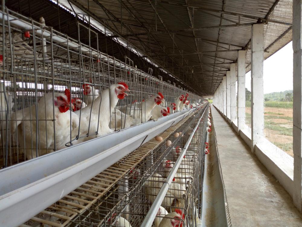 A poultry farm - poultry farming in nigeria