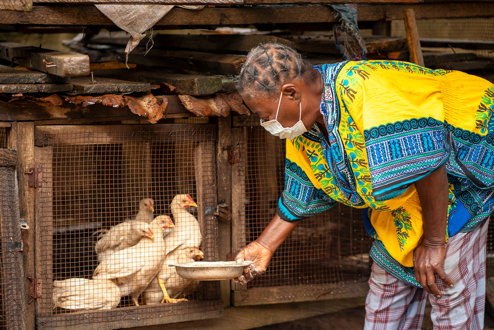 poultry farming in Nigeria-woman tending to chicken.