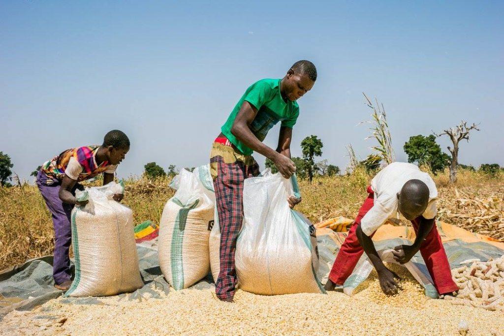 Maize farming in Nigeria - post harvest