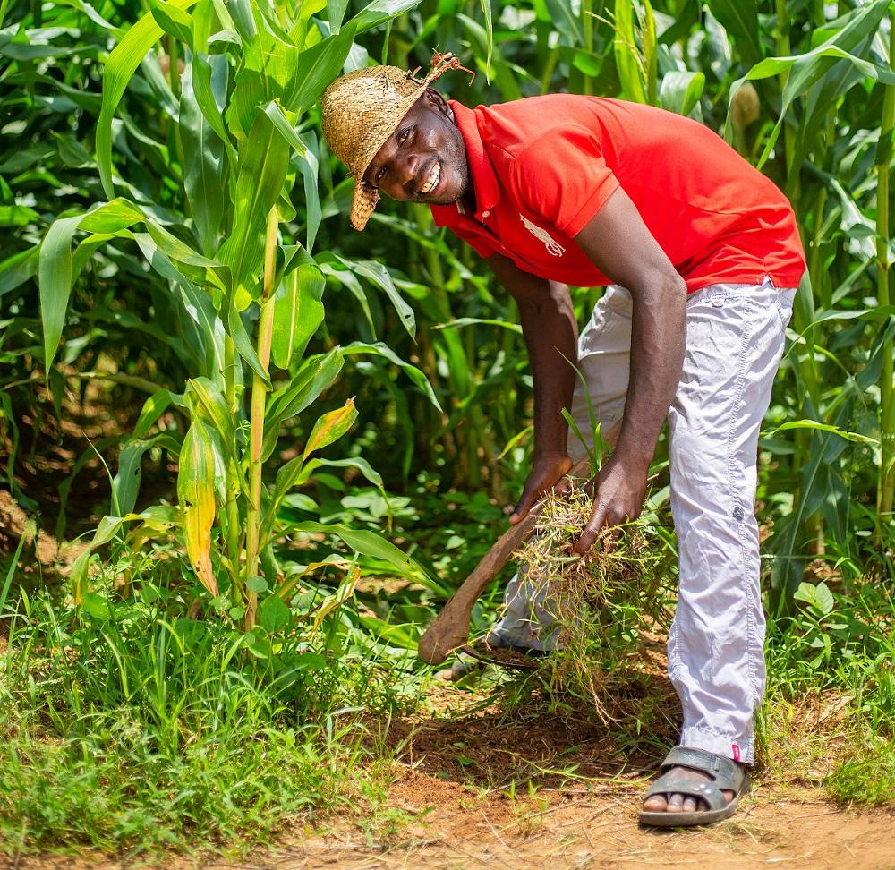 maize farming in Nigeria - weeding