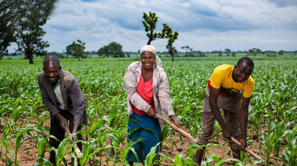 maize farming in Nigeria: how to get started