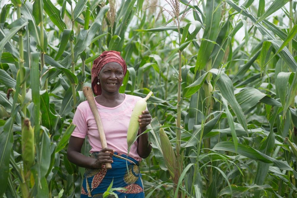 maize farming in Nigeria - harvest